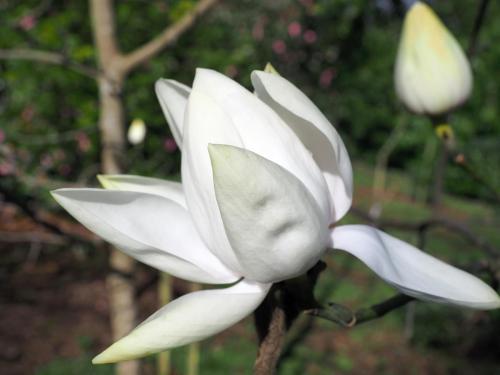 yellow form of Magnolia campbellii 'Alba' spring 2020