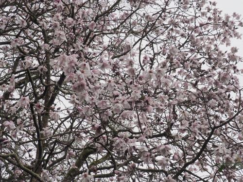 Magnolia campbellii subsp. mollicomata seedling spring 2020