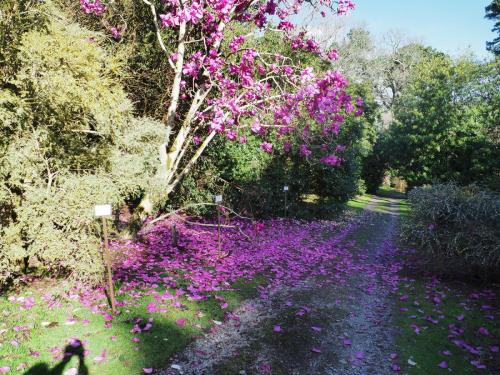 Magnolia 'Lanarth' spring 2020
