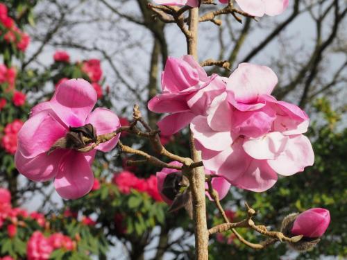 Magnolia 'Susanna Van Veen' spring 2020