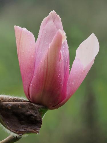 Magnolia vairano 2019