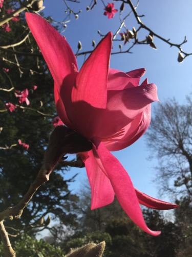 Magnolia 'Betty Jessel' 2019