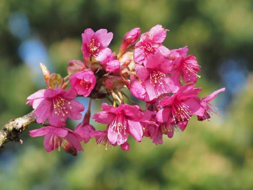 Prunus 'Collingwood Ingram' spring 2020