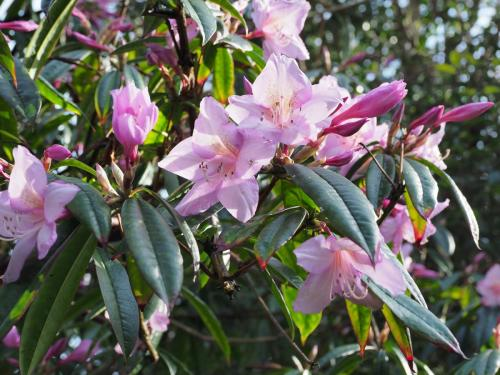Rhododendron moulmainense spring 2020