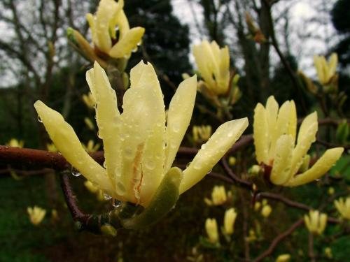 Magnolia 'MIss Honeybee' x acuminata