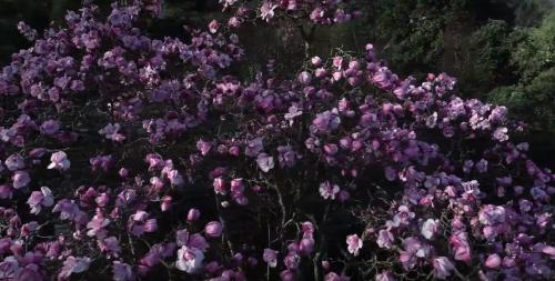 Magnolia spring 2020