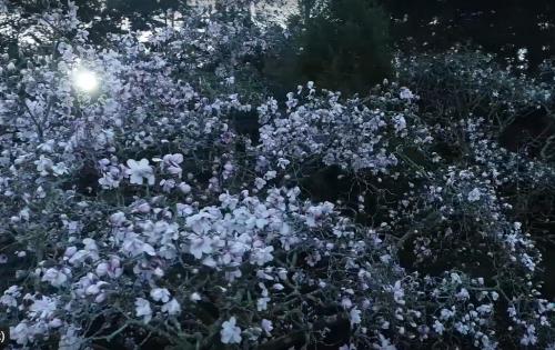 Magnolia campbellii 'Alba' spring 2020